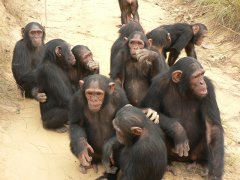 Chimpanzees and other apes at risk from shrinking habitats