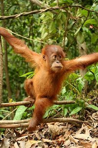 Orangutans are found in Indonesia and Malaysia. Indonesia in particular is rich in biodiversity