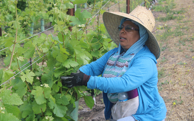 A Mexican migrant worker works at a vineyard in California, one of the U.S. states most dependent on seasonal labour from Mexico in agriculture, and which has now urged President Donald Trump to facilitate the arrival of guest workers from that country so crops are not lost. CREDIT: Kau Sirenio/En el Camino