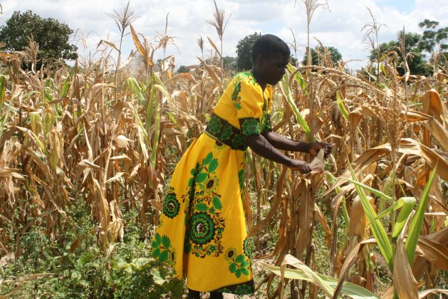Digital Agriculture Benefits Zimbabwe's Farmers but Mobile Money is Costly — Global Issues