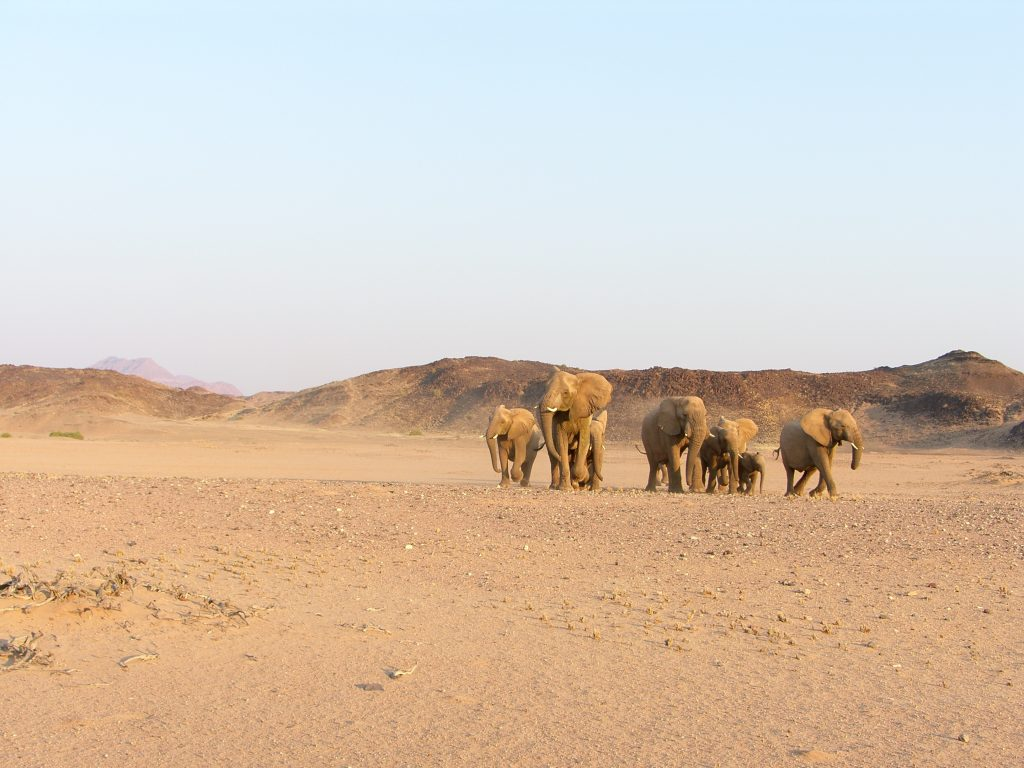 Namibia's rare desert-adapted elephants are also up for auction today. Courtesy: Stephan Scholvin