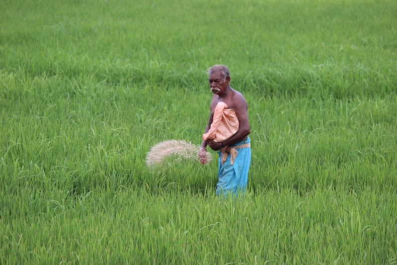 A farmer in the Kerala hinterland applies chemical fertilizer to his paddy fields.  Around the world, large areas subjected to unsustainable farming methods in an attempt to increase food production have damaged the environment.  Climate-friendly scientific methods are available and are just as productive.