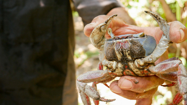 The blue crab is one of the species raised in nurseries by people in the Estero de Jaltepeque region in southern El Salvador, as part of an environmental sustainability project in the area financed by the Global Environment Facility's Small Grants Programme. CREDIT: Edgardo Ayala/IPS